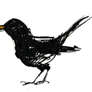 Blackbird standing